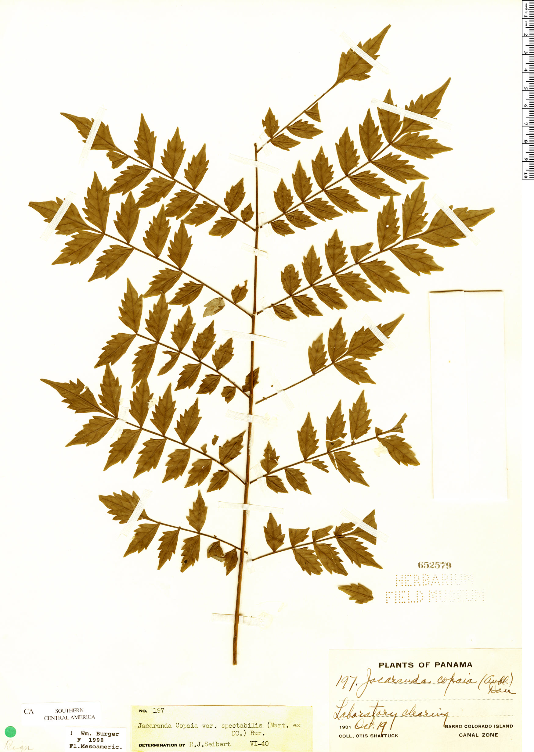 Specimen: Jacaranda copaia