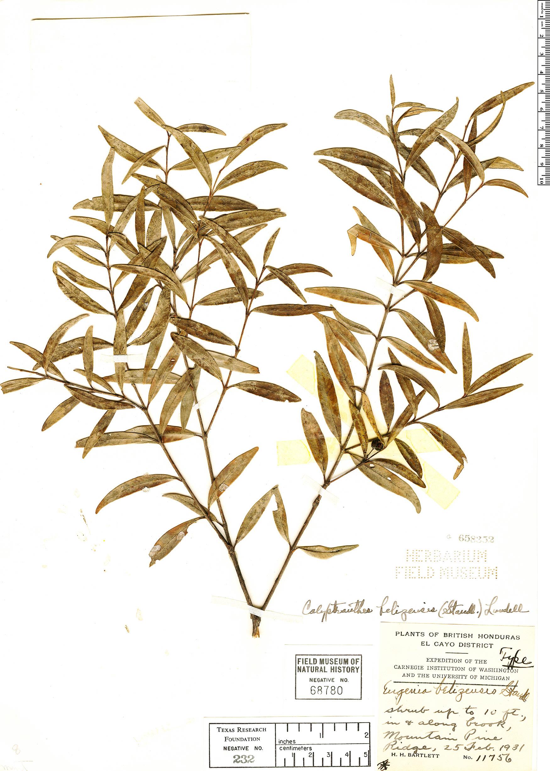 Specimen: Calyptranthes hondurensis