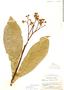 Solanum sessile image