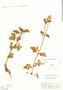 Calceolaria chelidonioides Kunth, Peru, E. P. Killip 21985, F