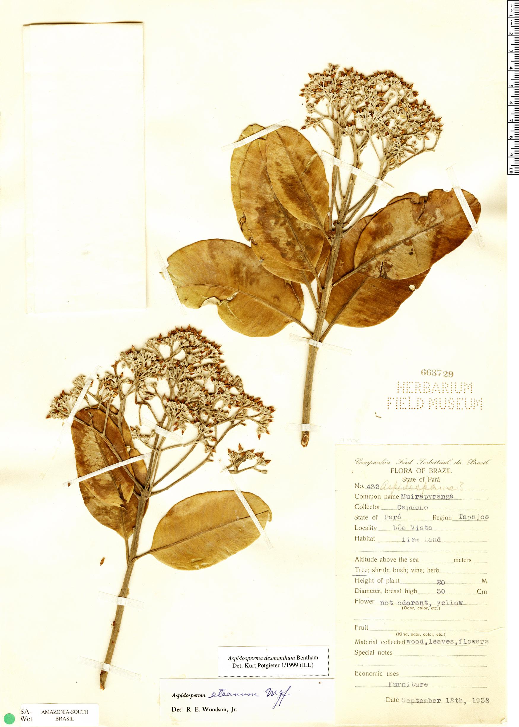 Specimen: Aspidosperma desmanthum