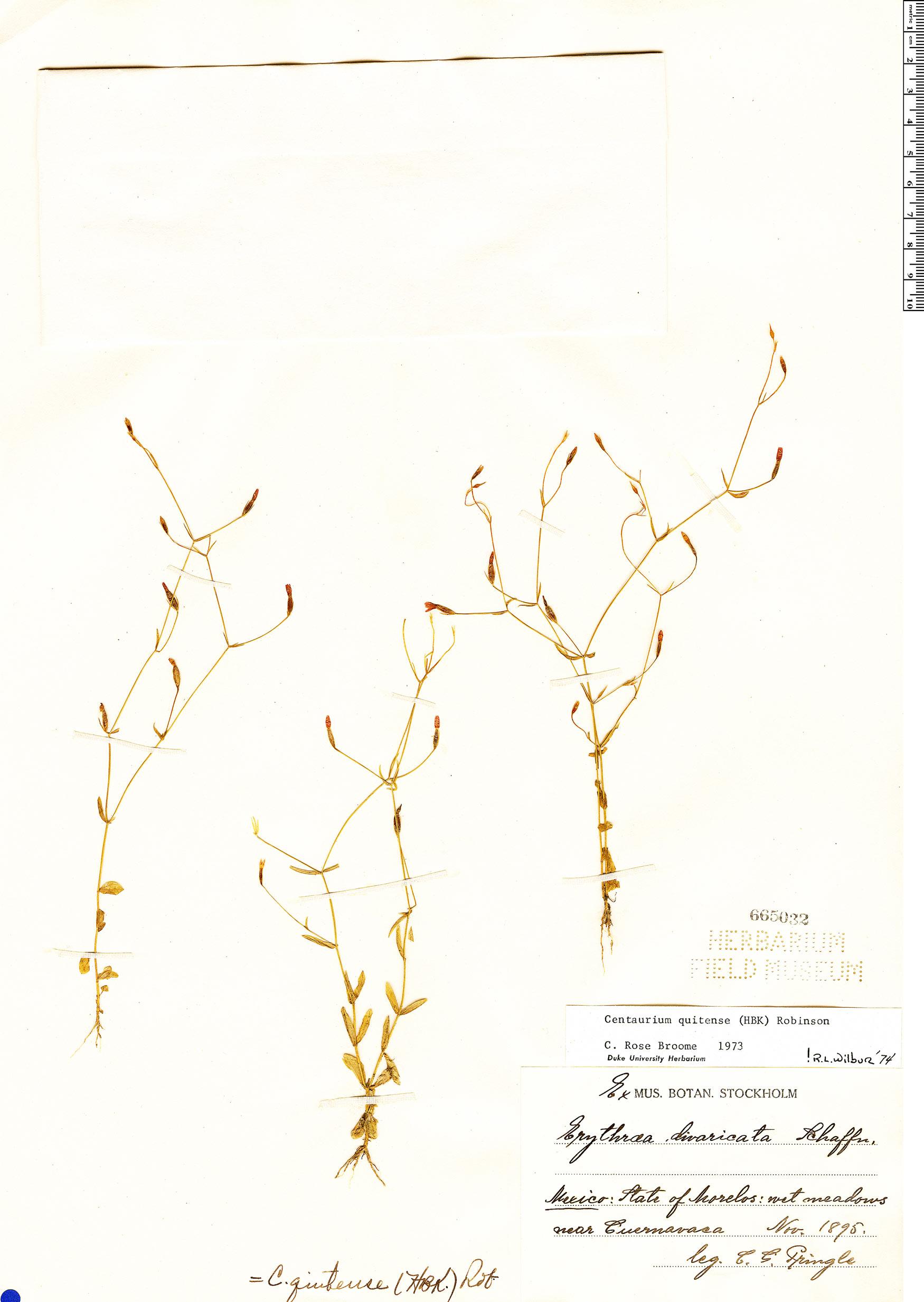 Specimen: Zeltnera quitensis