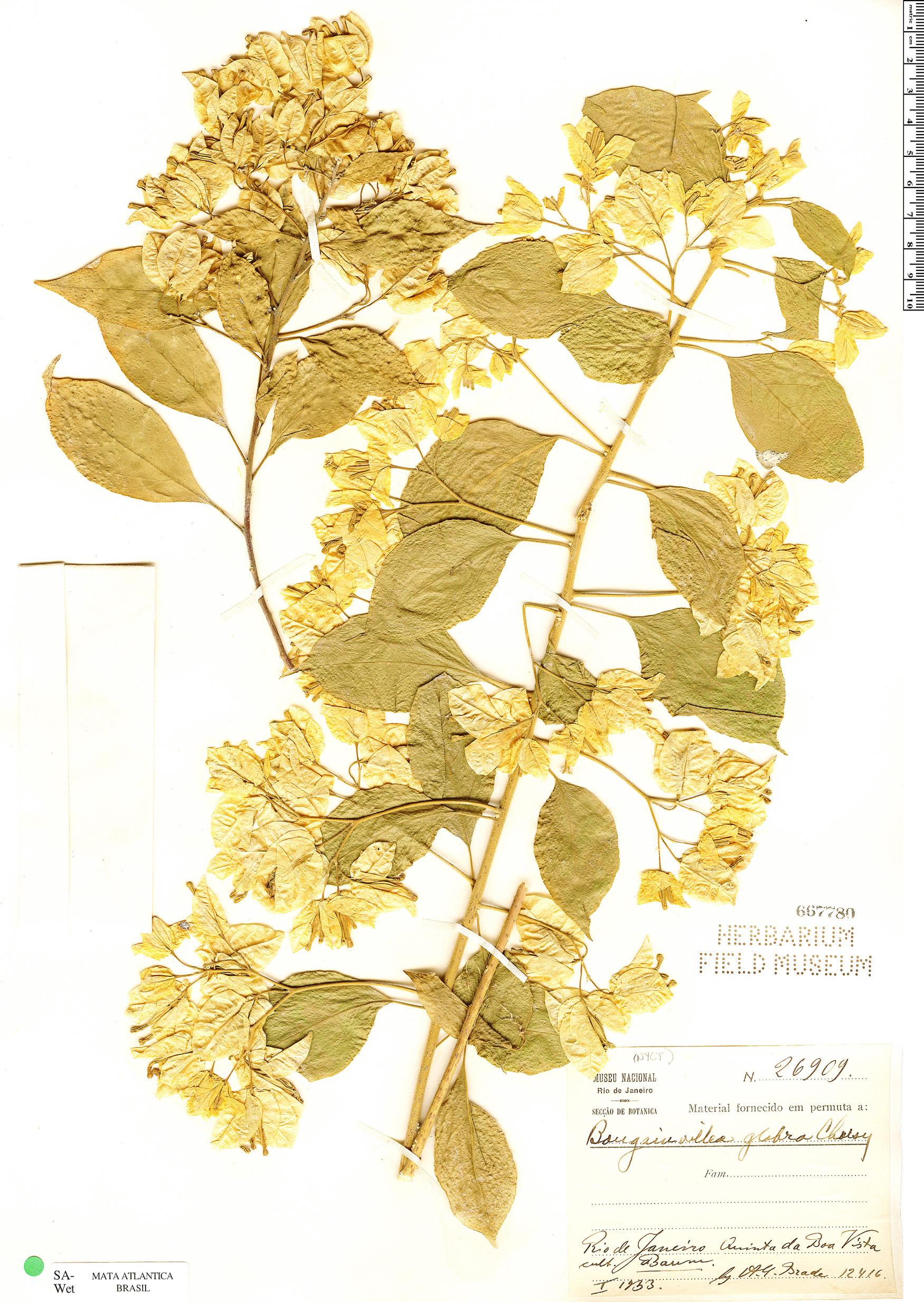 Specimen: Bougainvillea glabra