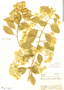 Bougainvillea glabra Choisy, Brazil, A. C. Brade 12416, F