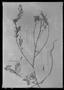 Field Museum photo negatives collection; Genève specimen of Mimosa camporum Benth., BRITISH GUIANA [Guyana], Schomburgk 725, Isotype, G