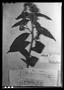 Field Museum photo negatives collection; Genève specimen of Baccharis nervosa DC., Trinidad and Tobago, F. W. Sieber 76, Type [status unknown], G