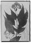 Field Museum photo negatives collection; Genève specimen of Eupatorium macropodus (DC.) Urb., Trinidad and Tobago, F. W. Sieber, Type [status unknown], G
