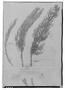 Lepidophyllum cupressiforme image
