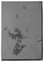 Haplopappus arbutoides image