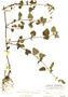 Salvia micrantha Vahl, Mexico, C. F. Millspaugh 1469, F