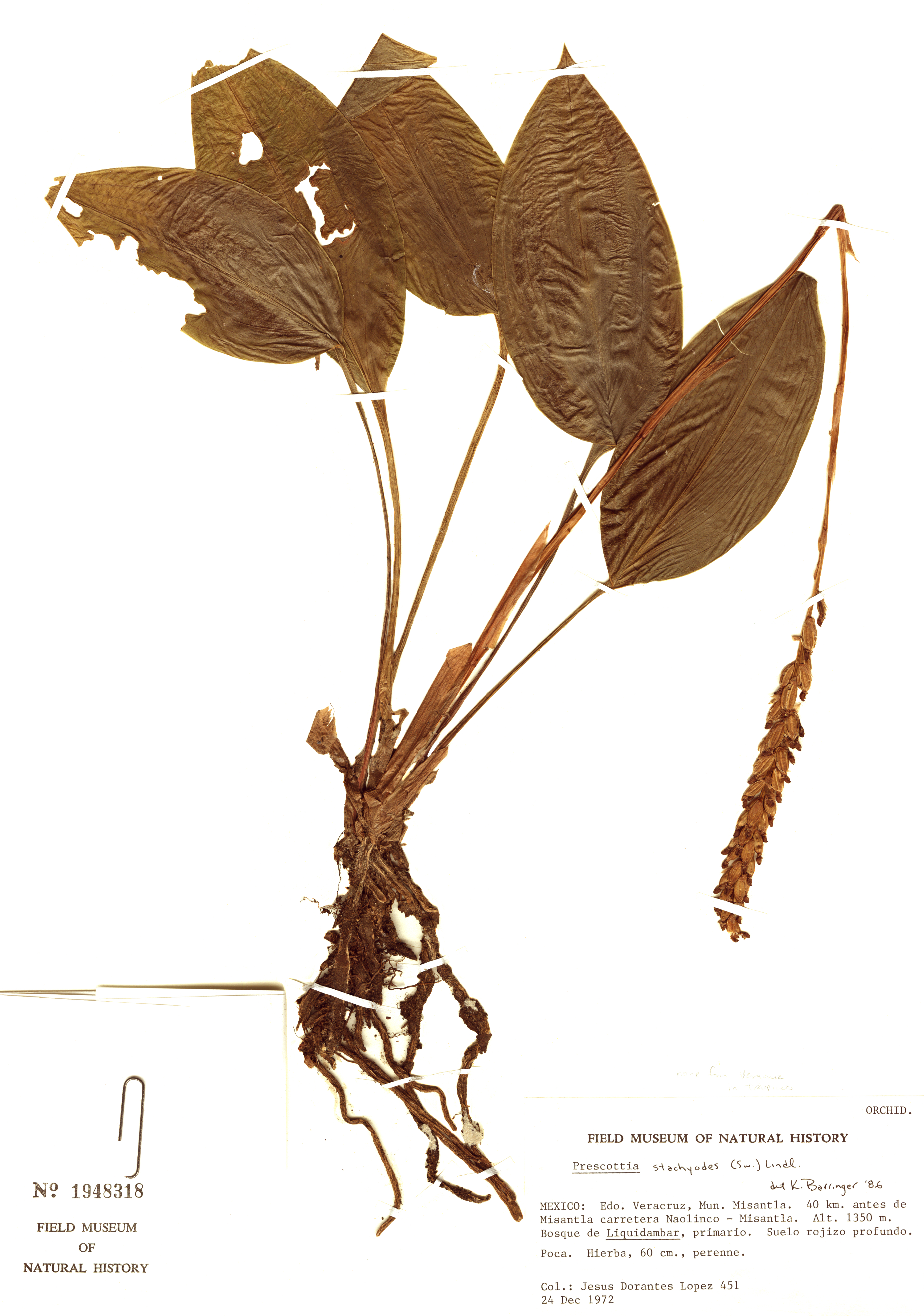 Specimen: Prescottia stachyodes