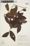 Symplocos guianensis (Aubl.) Gürke, BRAZIL, T. C. Plowman 8668, F