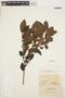 Symplocos guianensis (Aubl.) Gürke, GUYANA, R. H. Schomburgk 383, F