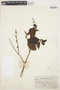 Symplocos guianensis (Aubl.) Gürke, GUYANA, R. H. Schomburgk 276, F