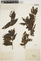 Symplocos guianensis (Aubl.) Gürke, FRENCH GUIANA, F. R. Leprieur, F