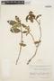 Symplocos guianensis (Aubl.) Gürke, FRENCH GUIANA, R. S. Cowan 38875, F