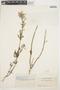 Iresine angustifolia image