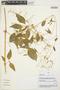 Iresine diffusa Humb. & Bonpl. ex Willd., Peru, V. Quipuscoa S. 1927, F