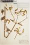 Bryophyllum pinnatum (Lam.) Oken, PERU, G. Klug 3752, F