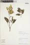 Bryophyllum pinnatum (Lam.) Oken, PERU, P. Nuñez V. 8147, F