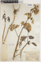 Bryophyllum pinnatum (Lam.) Oken, PERU, J. F. Macbride 2420, F