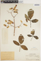 Bryophyllum pinnatum (Lam.) Oken, PERU, Ll. Williams 2382, F