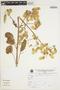 Bryophyllum pinnatum (Lam.) Oken, Peru, V. Quipuscoa S. 699, F