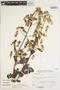 Bryophyllum pinnatum (Lam.) Oken, Peru, J. Santisteban 175, F