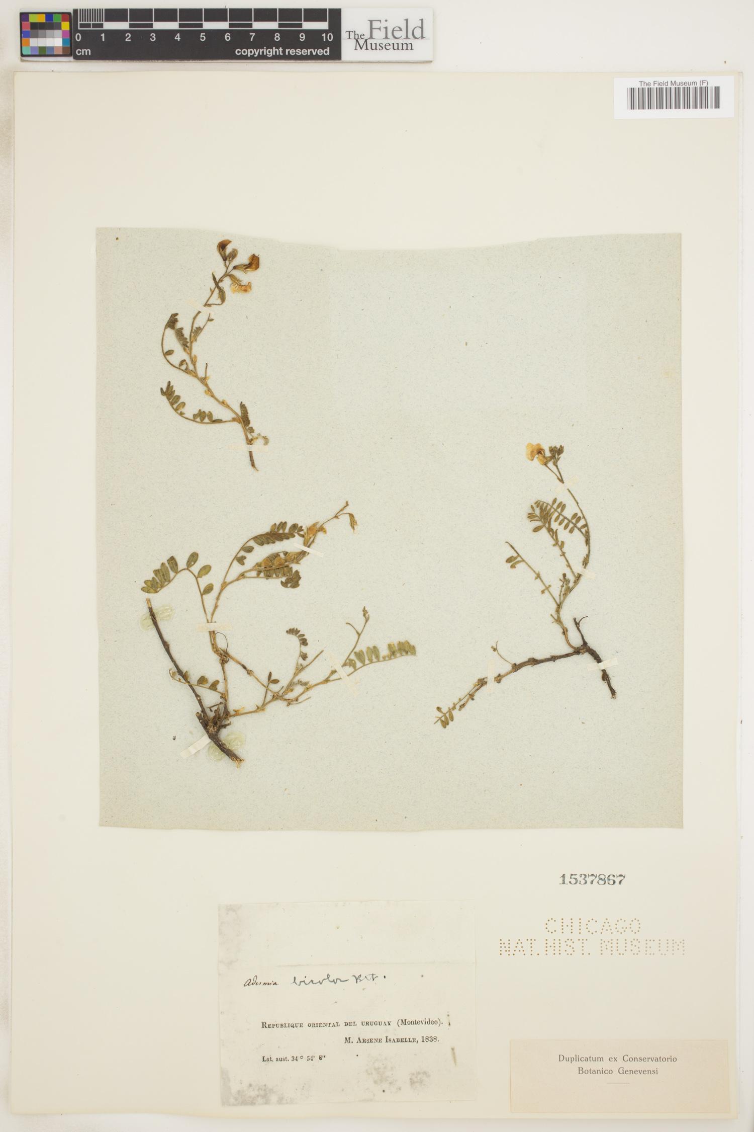 Adesmia bicolor image