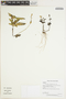 Asystasia Blume, GUYANA, C. L. Kelloff 1150, F