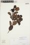 Humiria balsamifera Aubl., GUYANA, B. Hoffman 2003, F