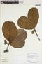 Sloanea L., GUYANA, T. W. Henkel 2147, F