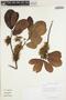 Sloanea L., GUYANA, H. D. Clarke 4020, F