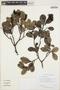 Humiria balsamifera Aubl., GUYANA, T. W. Henkel 5698, F