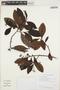Humiria balsamifera Aubl., GUYANA, T. W. Henkel 3937, F