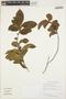 Symplocos guianensis (Aubl.) Gürke, GUYANA, T. W. Henkel 2494, F