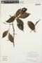 Paullinia isoptera Radlk., GUYANA, H. D. Clarke 7378, F