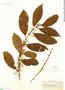 Cestrum silvaticum Francey, Peru, G. Klug 2136, F