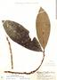 Stylogyne cauliflora (Mart. & Miq.) Mez, Peru, G. Klug 2148, F
