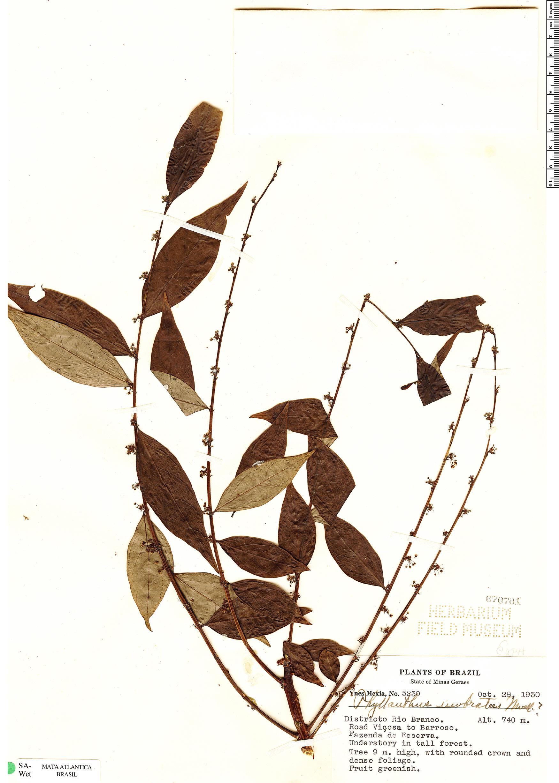 Specimen: Phyllanthus umbratus