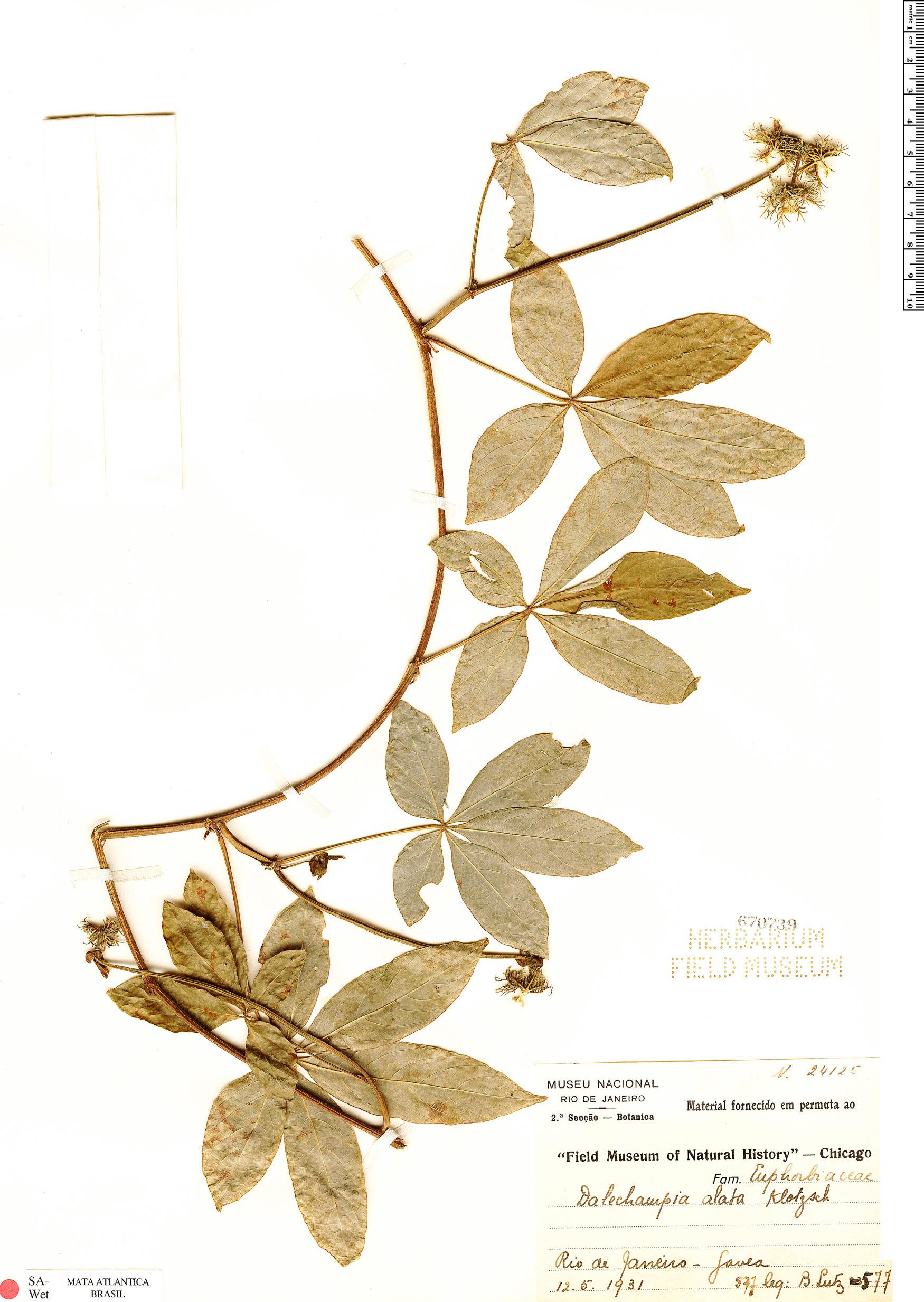 Espécimen: Dalechampia alata