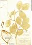Canavalia rosea (Sw.) DC., Mexico, H. L. Mason 1552, F