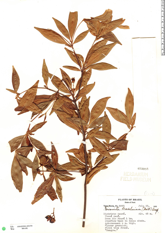 Specimen: Tovomita brasiliensis