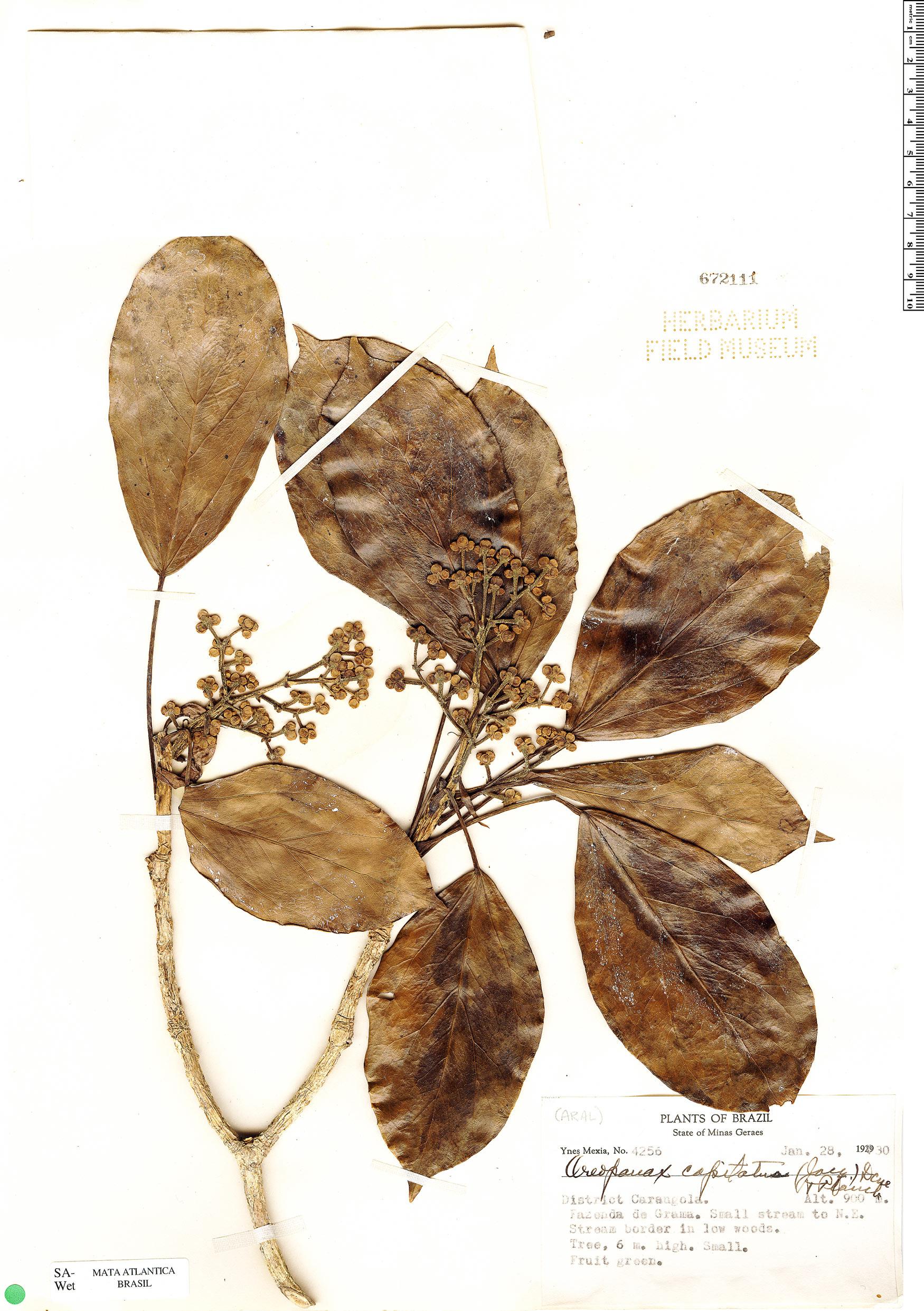 Specimen: Oreopanax capitatus