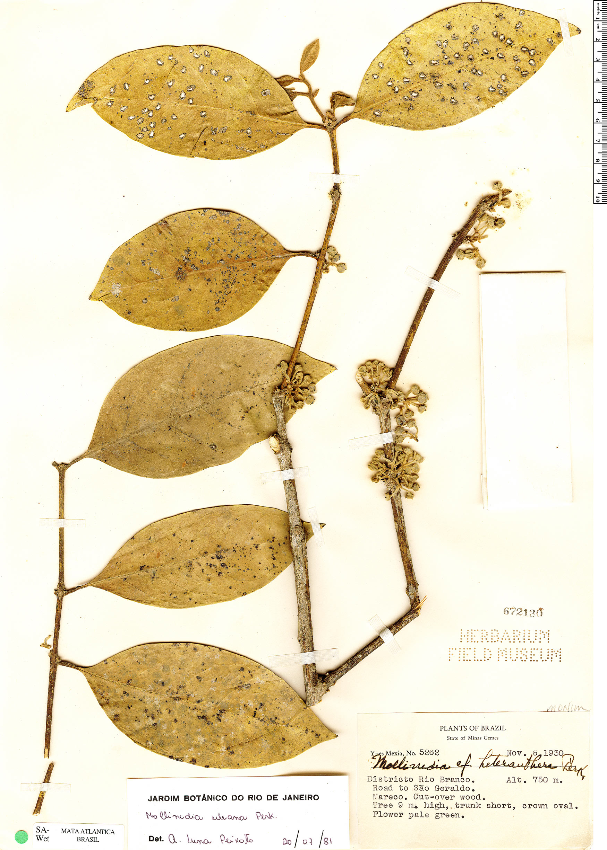 Specimen: Mollinedia uleana
