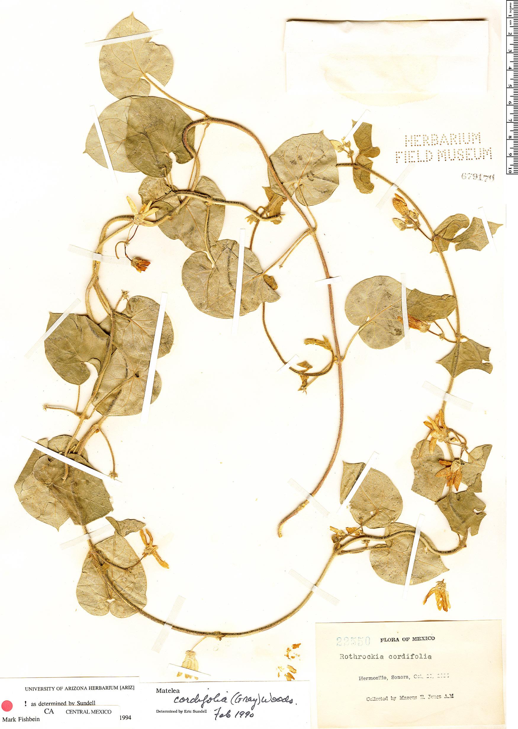 Matelea cordifolia image