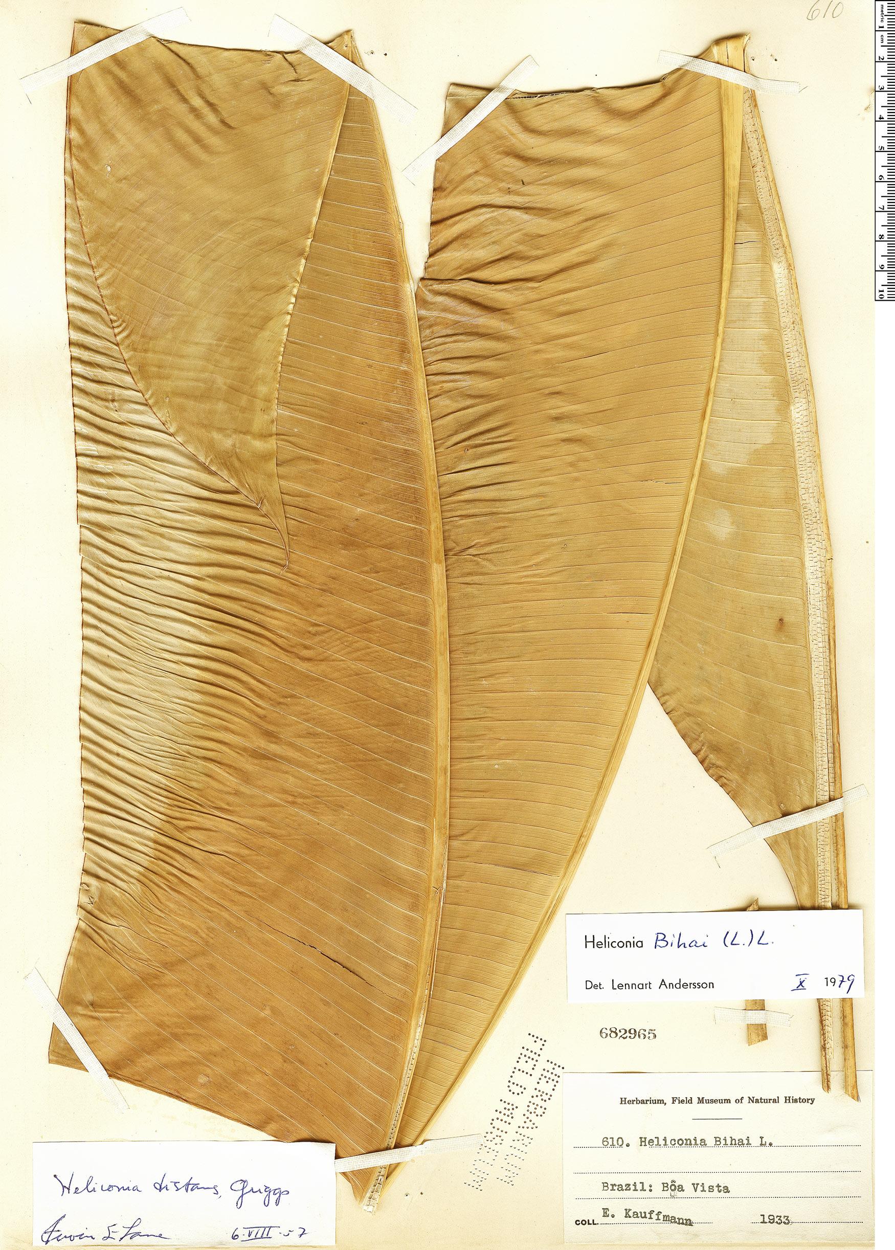 Specimen: Heliconia bihai