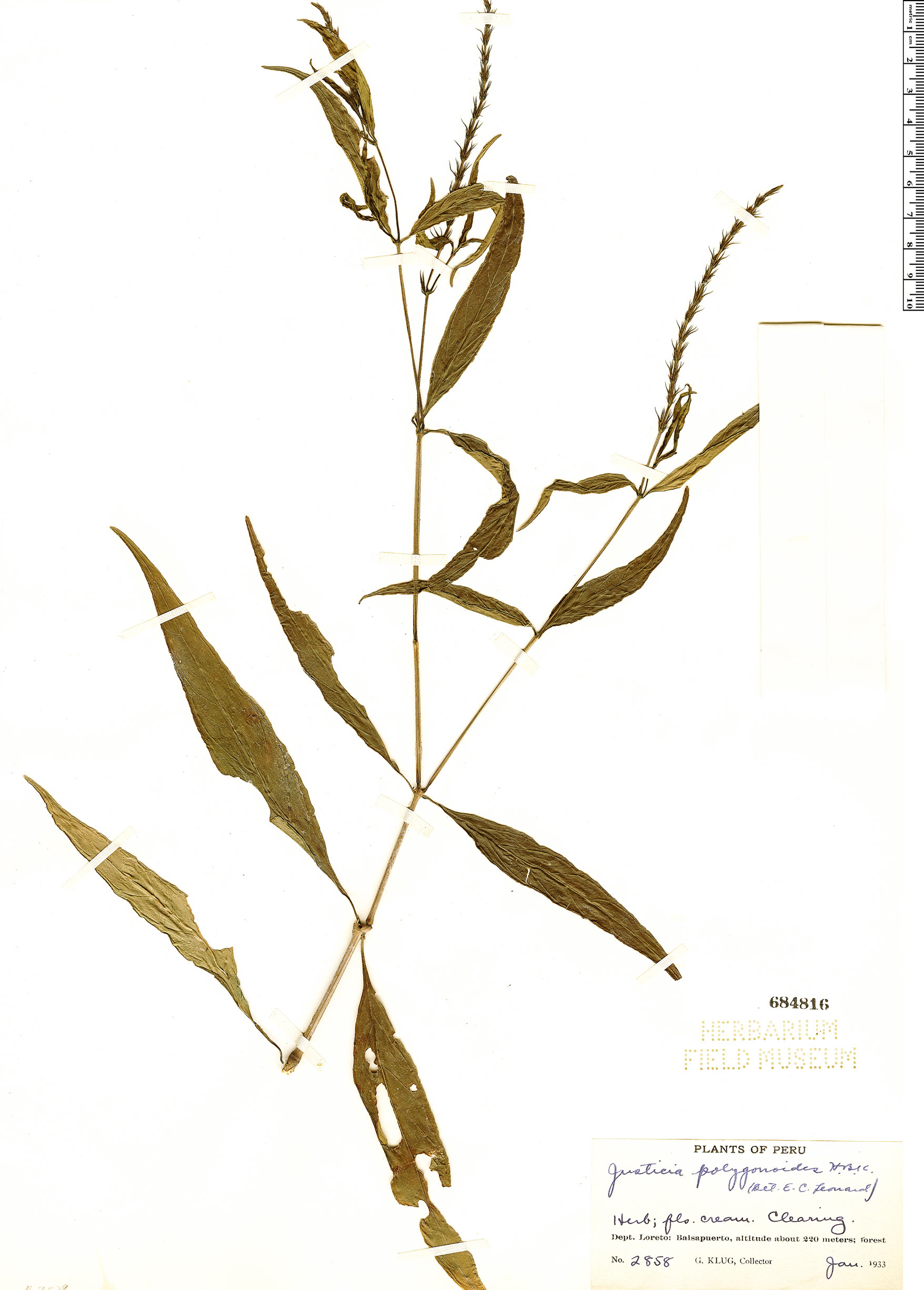 Specimen: Justicia polygonoides