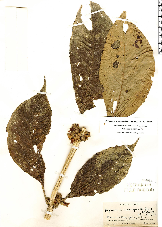 Specimen: Drymonia macrophylla