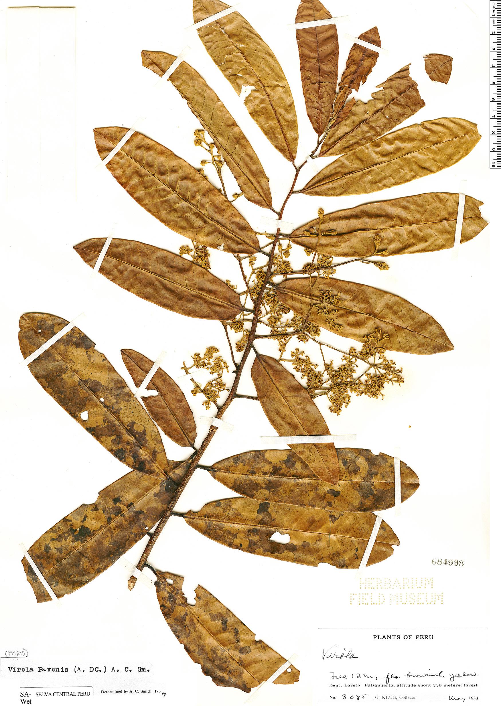 Specimen: Virola pavonis